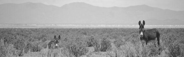 Wild Donkeys in Desert Argentina